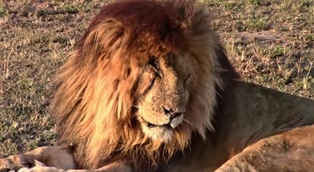 Scarface morto (immag pubbl su Fb da Saioti @MPCP Mara Predator Conservation Programme)
