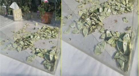 Le farfalle morte nella teca sotto il sole (immagini pubbl da Cristina Nasi e Patrizia Malizia su Fb)