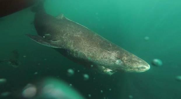 Lo squalo della Groenlandia ha 512 anni: è il vertebrato più vecchio del pianeta