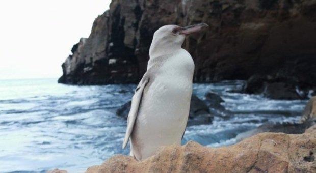 Il rarissimo pinguino bianco (immag pubbl da La Prensa Latina ecc immag ripresa dalla guida Jimmy Patino)