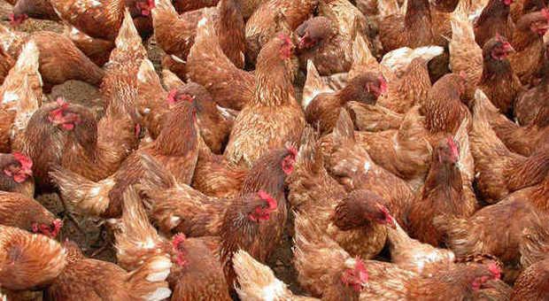 Virus aviaria, in quarantena ad Attigliano un allevamento di quindicimila galline