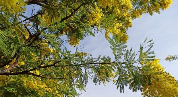 Finta primavera inganna le piante: dalla mimosa alle pesche, boom di fioriture precoci