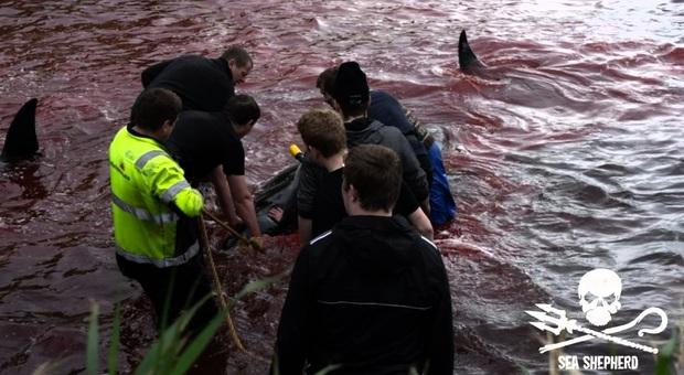 Un momento della caccia alle balene alle Faroe Islands (immagini pubblicate su Fb da Sea Shepherd Faroe Island Campaign)
