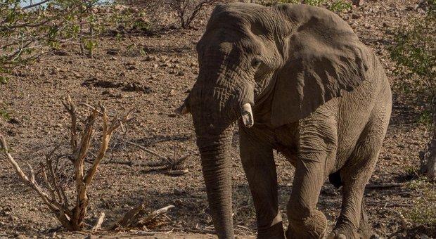 L'elefante Voortrekker in Namibia