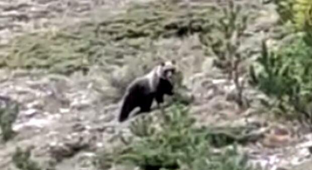 L'incontro ravvicinato con l'orso sui Sibillini: come comportarsi in caso di avvistamento