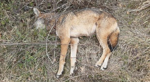 Teramo, lupo trovato morto: «E' stato avvelenato»