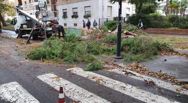 Allarme alberi a Latina, abbattuti altri due pini a viale Mazzini - Il Messaggero