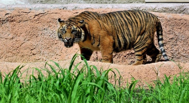 Uccisa la femmina di tigre che avrebbe sbranato 13 persone
