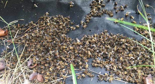 Usa, milioni di api sterminate da un pesticida anti-Zika