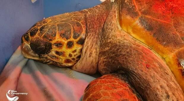 Bloody Mary la grande tartaruga marina uccisa sparata da un fucile subacqueo (immag pubbl da Centro Recupero Tartarughe Marine di Brancaleone su fb)