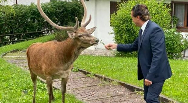 Cortina, un cervo come vicino di casa: l'incontro speciale del sindaco