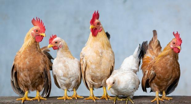 Le auto corrono davanti casa, lui fa attraversare di continuo le sue galline