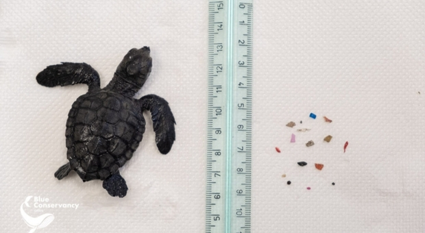 Tartaruga pesa solo 17 grammi e il suo stomaco è già pieno di plastica: il salvataggio della piccola Penny