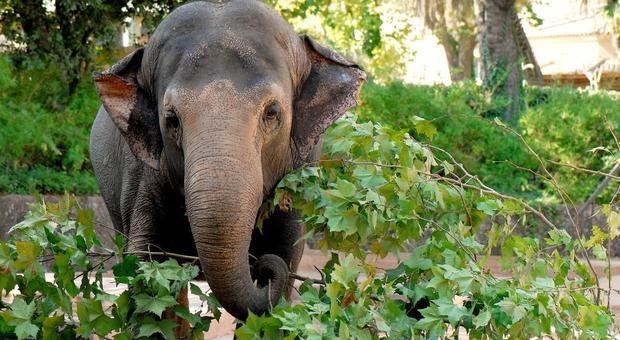 Sofia, elefante asiatico