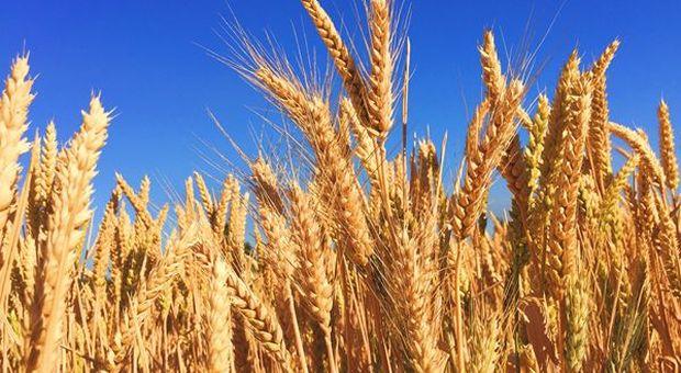ufficiale negozio ufficiale l'atteggiamento migliore Cia-Agricoltori: Ora si apra mercato sementi grano Cappelli