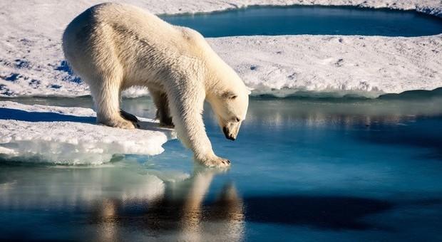 Un orso polare alle prese con il ghiaccio che si scioglie (foto Ansa)