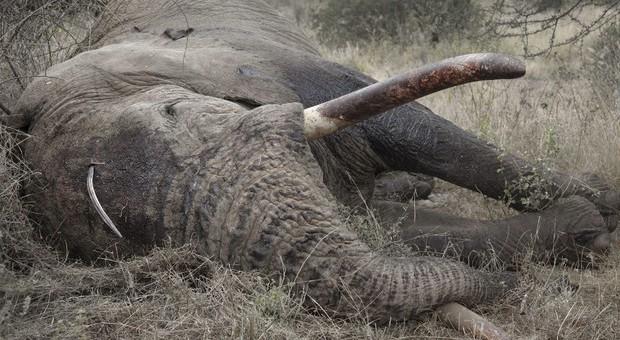 Strage di elefanti in Botswana. Centinaia gli esemplari trovati morti vicino ai fiumi. E' mistero. (immagine pubbl da Ansa)