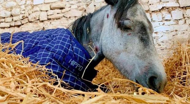 Pony picchiato a morte da un gruppo di adolescenti. «Un'agonia, colpito su schiena e muso»
