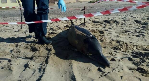 Allarme morbillo nelle balene, Greenpeace: «Potrebbe fare salto di specie come il Covid»