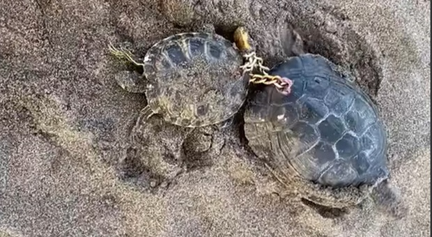 Le due tartarughe trovate incatenate (immag e video pubbl da Radio Television Canaria su fb)
