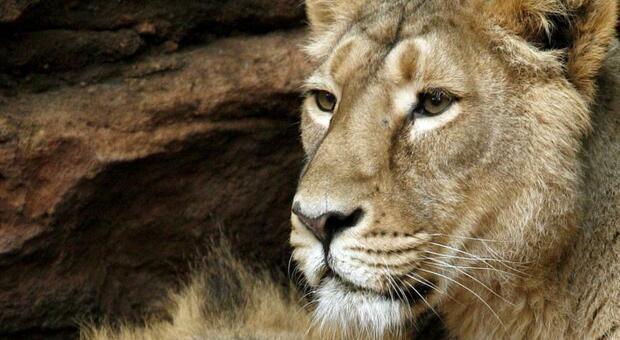 Barcellona, quattro leoni dello zoo positivi al Covid: mistero sul contagio