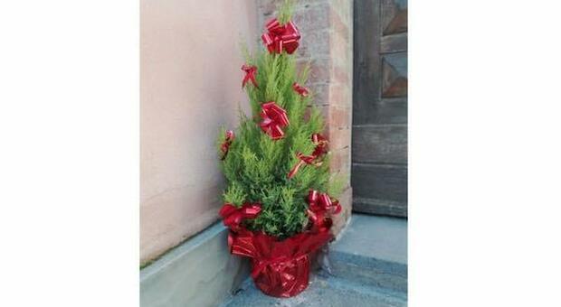 A Ficulle il comune cede ai cittadini 53 alberelli utilizzati per l'addobbo natalizio