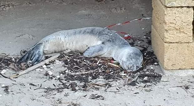 Il cucciolo di foca monaca morto stamattina. (Immagine pubblicata da Ispra)