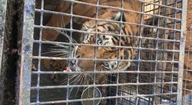 Dieci tigri trasportate da Latina alla Russia: una morta, altre in fin di vita. La denuncia della Lav