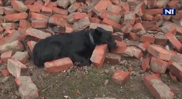 Terremoto Croazia. Le strazianti immagini del cane rimasto a guardia della sua casa crollata (immagine pubblicata da TvN1 e Domagoj Novokmet su Twitter)