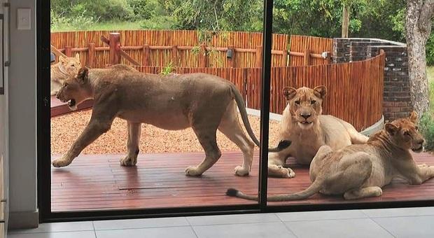 Apre la porta di casa e trova sei leoni (immag e video diffusi da David de Beer su Fb)