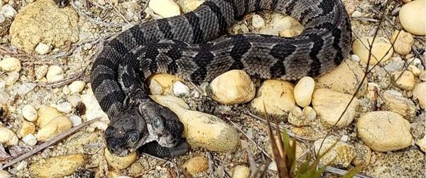Rarissimo serpente a sonagli con due teste nel New Jersey, ha due cervelli indipendenti