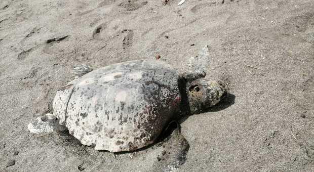 """Tartaruga della specie """"Caretta caretta"""" trovata morta sulla spiaggia"""