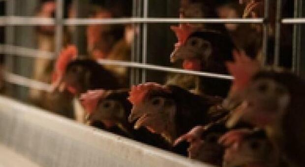 Galline in gabbia, Kfc e Pizza Hut cedono agli animalisti: «Non ce ne serviremo più»