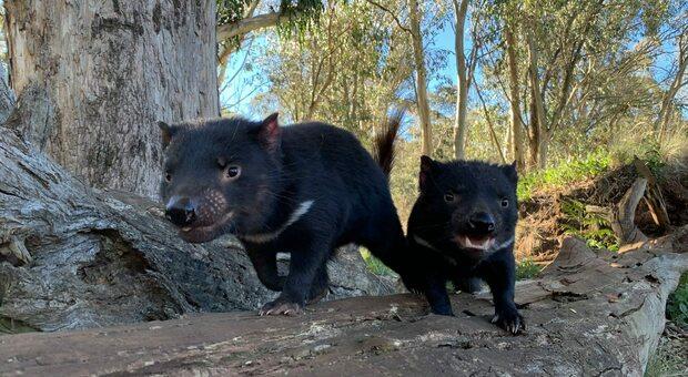 Due esemplari di diavolo della Tasmania, un marsupiale che non nasceva nell'Australia continentale da più di 3000 anni (Aussie Ark)