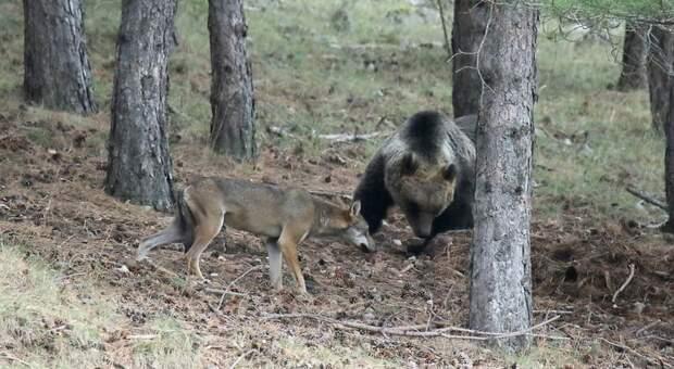 L'orsa Amarena difenda la sua carcassa da lupo (foto Marino Baroncini)