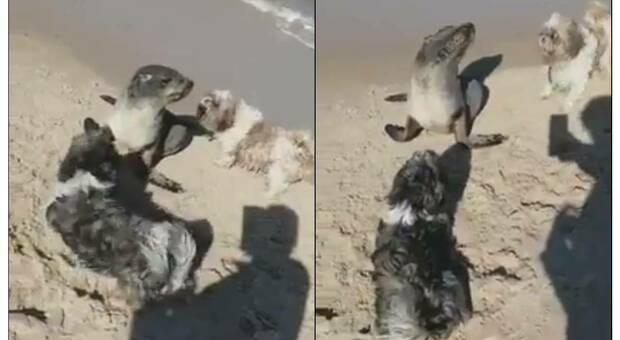 Il cucciolo di otaria attaccato dai cani mentre la gente riprende la scena con il telefonino. (immagini e video pubbl da Red de variamientos de fauna marina su Fb)