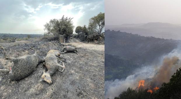 Incendi in Sardegna, il racconto di un pastore: «Così ho rischiato la vita per salvare 400 pecore»