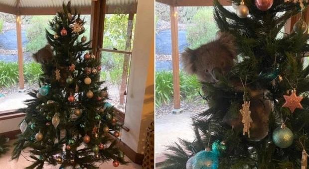 Il koala trovato arrampicato sull'albero di Natale del soggiorno (immag di Amanda McCormick su Fb diffuse da 1300Koalaz su Fb)