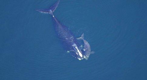 Il cucciolo di balena nera appena nato è già morto