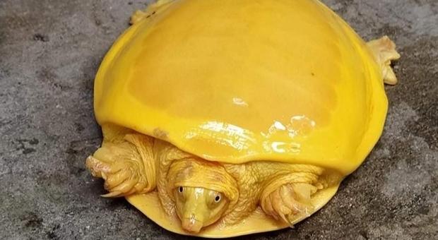 La rarissima tartaruga gialla rinvenuta nel Bengala. (immagine pubbl dal forestale Debashish Sharma, IFS su Twitter)