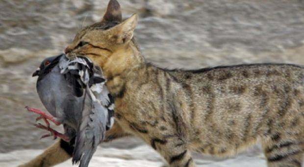 L'Australia vuole sterminare 2 milioni di gatti: «Minaccia per uccelli e rettili». Pronto cibo killer