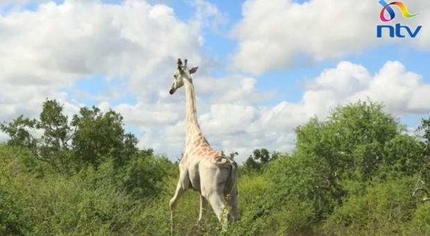 Gps per l'ultima giraffa bianca conosciuta. La proteggerà dai bracconieri. (immagine diffusa da NTV Kenya su You Tube)