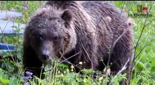 Faccia a faccia con l'orso: incontri ravvicinati nel Parco d'Abruzzo