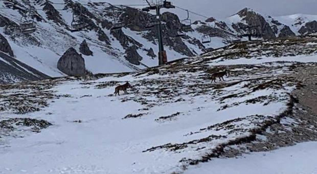 Lupi sulle piste da sci di Ovindoli