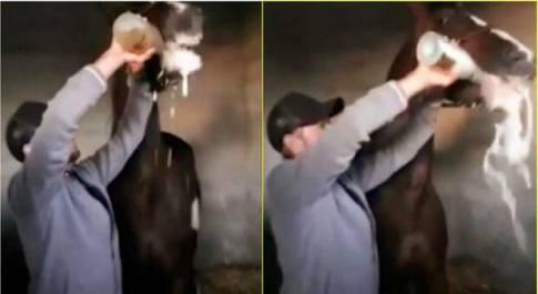 Il cavallo costretto a bere l'intera bottiglia di champagne (immagini e video pubbl dall'associaz Assaib Eivissa su Fb)