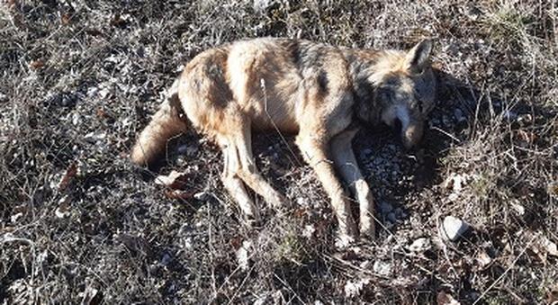 Lupo morto avvelenato, allarme nel Parco nazionale d'Abruzzo: trovate esche letali