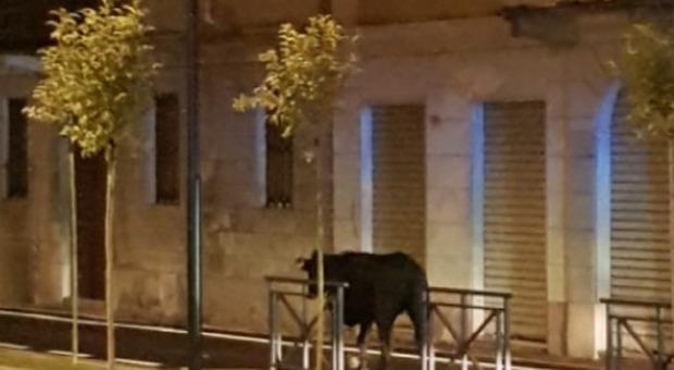 Novara, mucca scappa da allevamento e vaga per la Statale. Abbattuta dai carabinieri