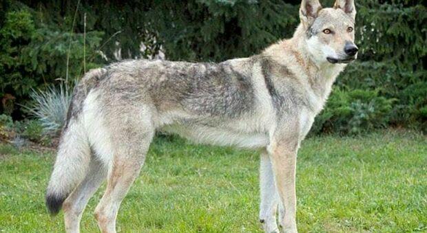 Bambina di 11 anni azzannata alla gola da un cane lupo cecoslovacco: ricostruite corde vocali e laringe
