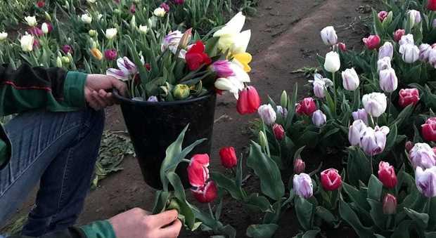 Roma, Il parco dei tulipani appena aperto già devastato: strappati 8mila fiori