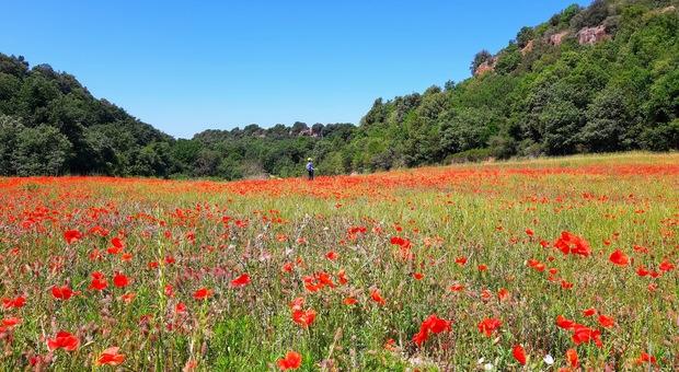 La valle dei papaveri a Castel d'Asso